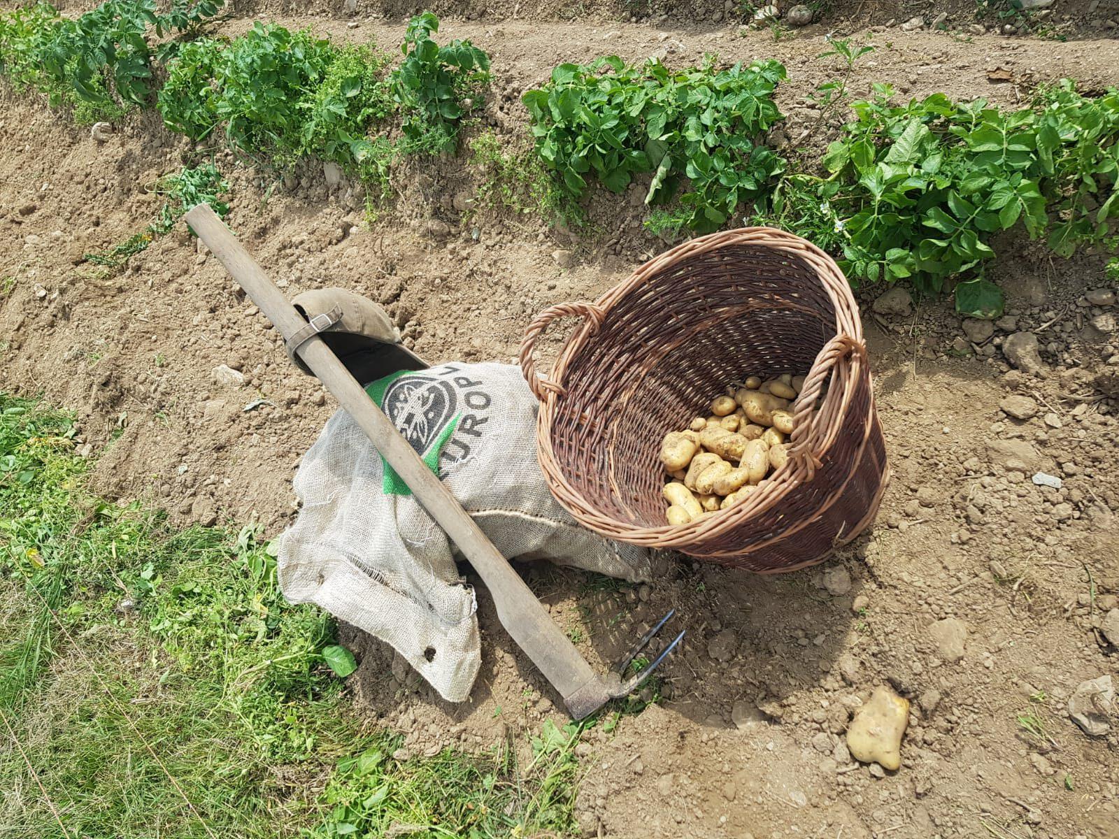 Kartoffelernte